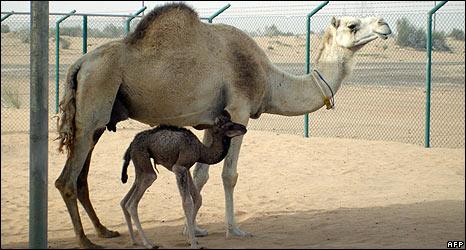_45663707_camel_clone_466afp